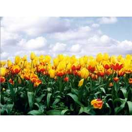 Fotomural YELLOW TULIPS FT-0140