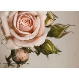 Fotomural PINK ROSE FTM-0820